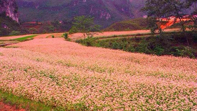 Cho thuê xe du lịch ngắm hoa tam giác mạch tại Hà Giang